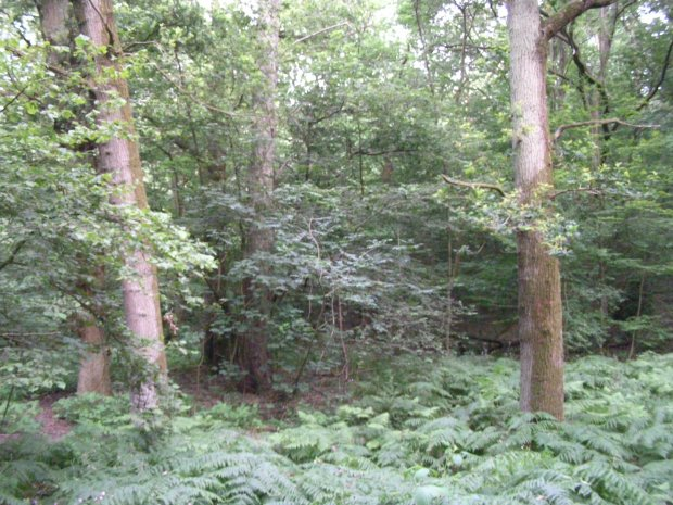 Whippendell Wood