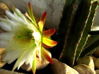 Our arrival was serendipitous because this cactus only blooms one night a year!