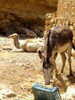 dromedary and donkey